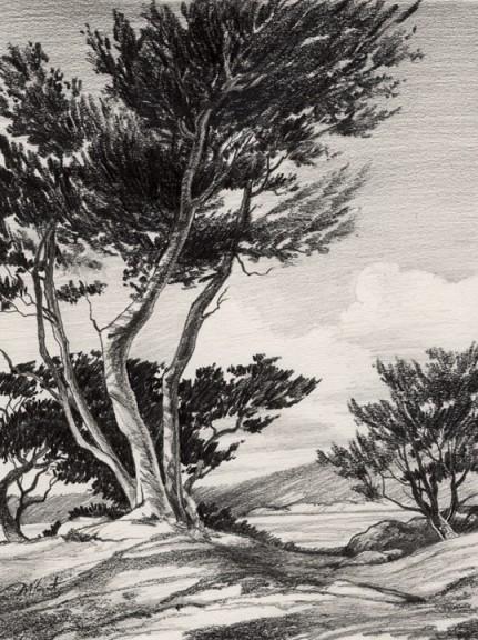 carmel cypress  |  graphite study
