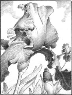purple iris  |  graphite study